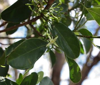 Acronychia laevis