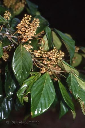 Eaeocarpus largiflorens