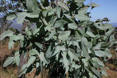 Eucalyptus paedoglauca