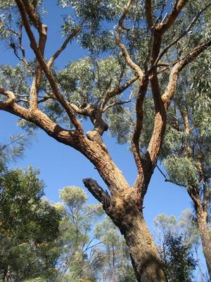 Eucaluyptus similis