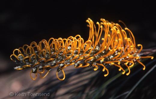 Grevillae pteridifolia